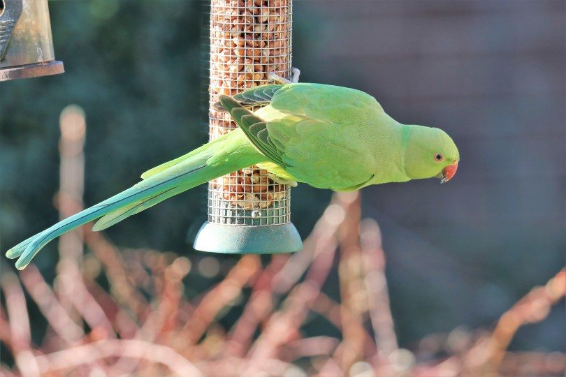 parakeet feeding itself