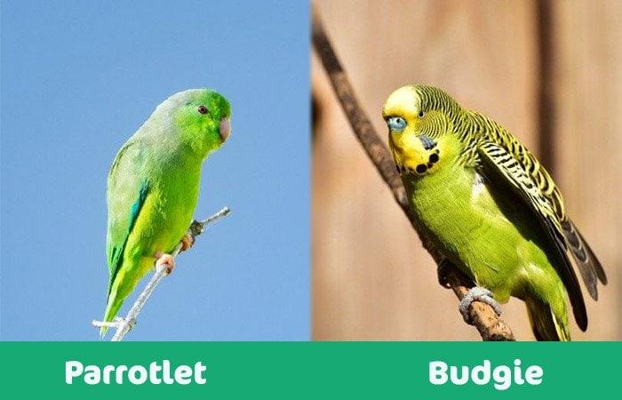 parrotlet vs budgie visuals