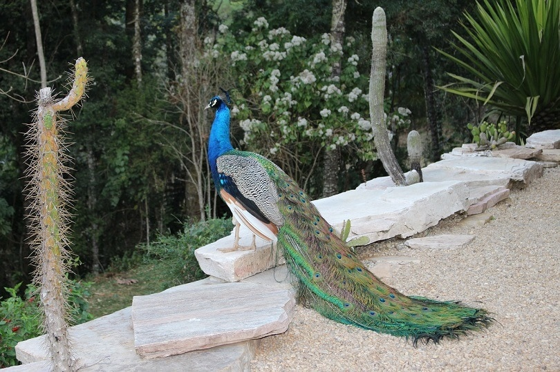 peacock relax-pixabay