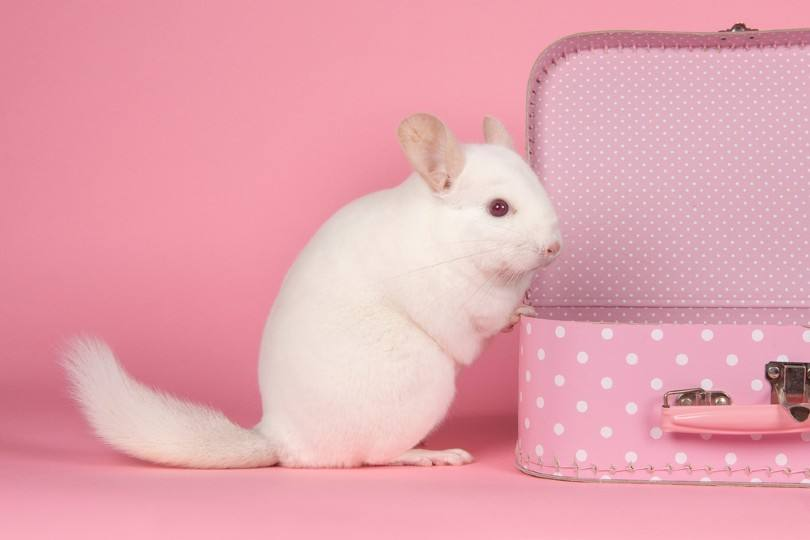 pink white chinchilla
