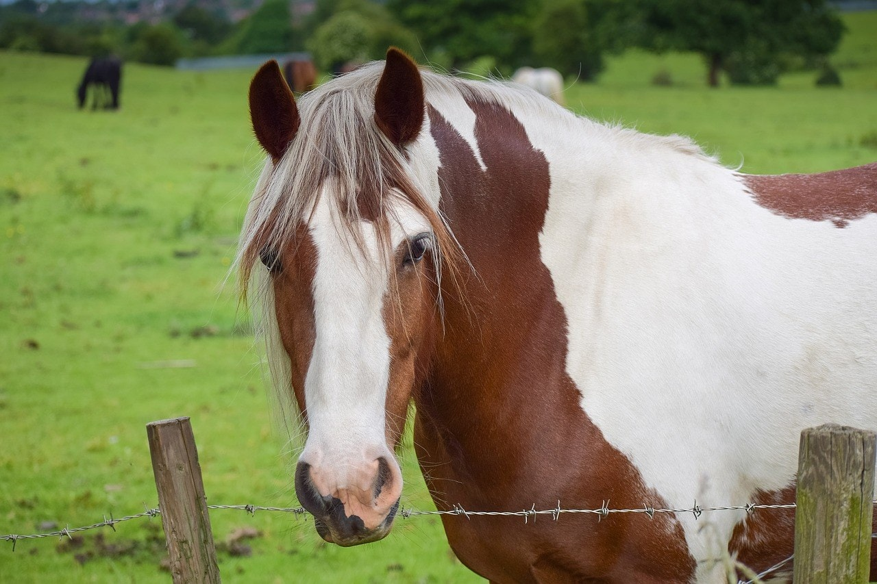 pinto horse close up