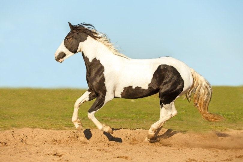 pinto horse running free