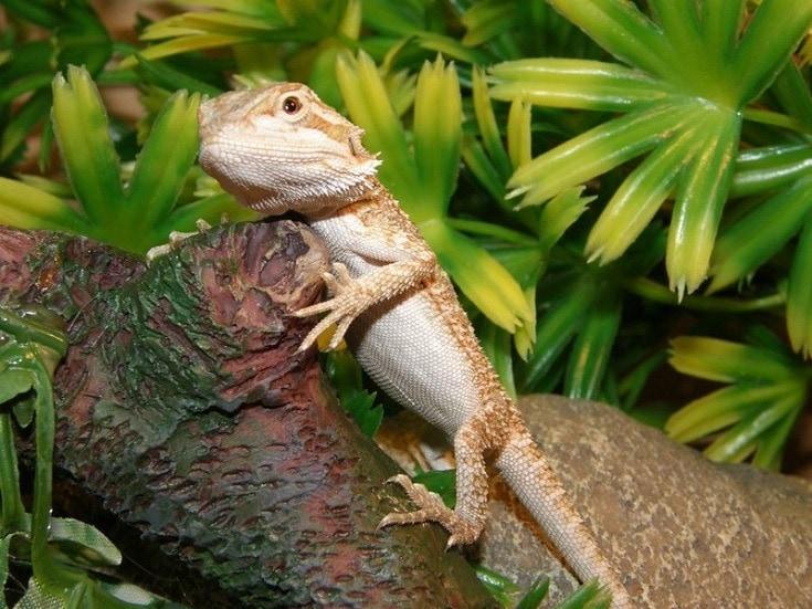 pogona vitticeps - bearded dragon
