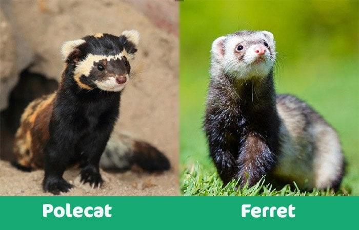 polecat vs ferret visual