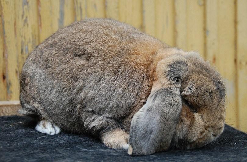 rabbit lying low