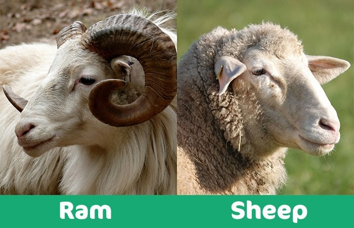 ram vs sheep visual