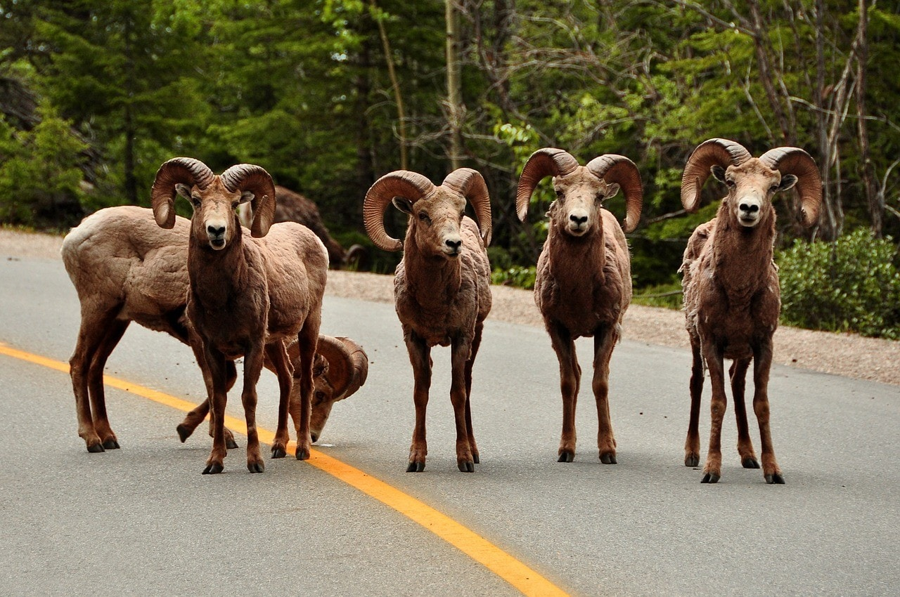 rams in the road
