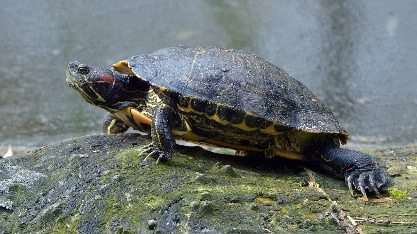 red eared slider turtle on a rock