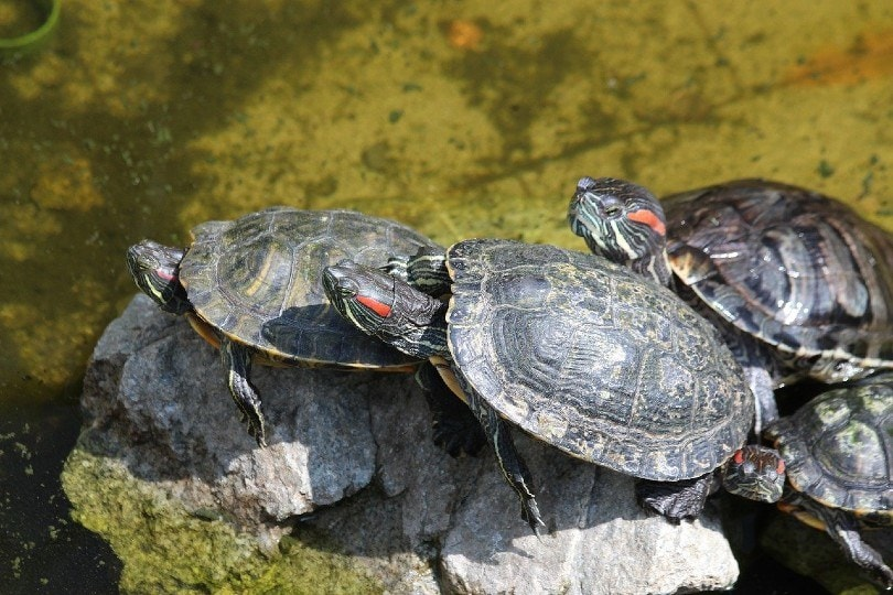 red eared turtles_zoosnow, Pixabay