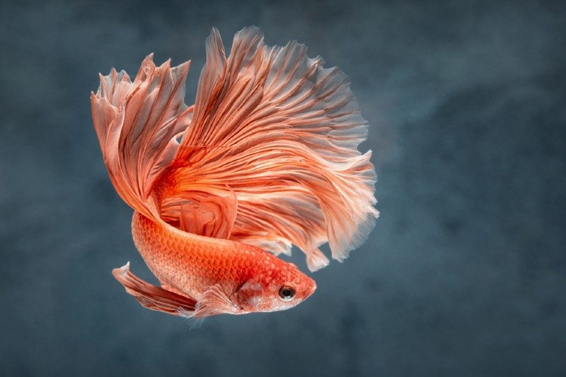 rose tail Moon Betta