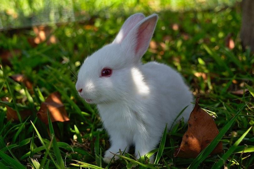 ruby red eyes rabbit-pixabay