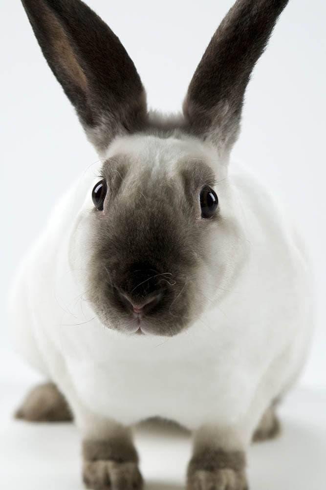 sable point rex rabbit