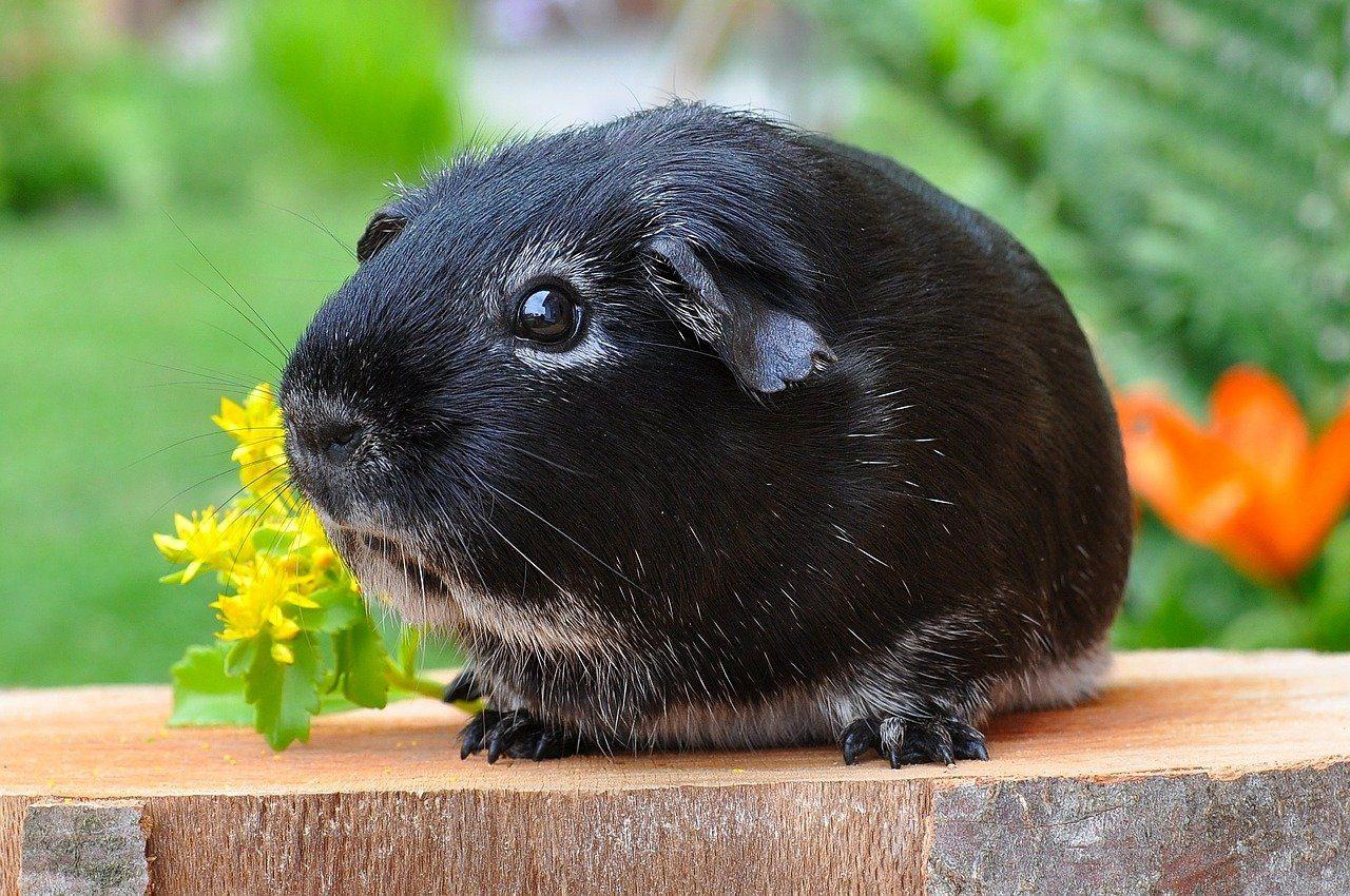 sad silver fox guinea pig