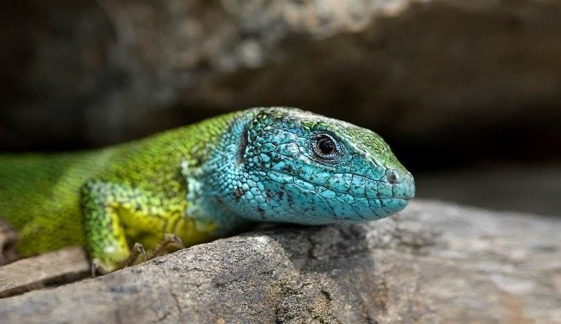 salamander-pixabay (2)