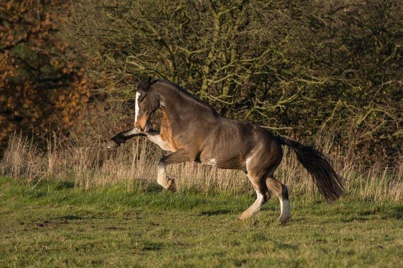 seal-brown-bay-cob-horse_mbaskphotography_shutterstock