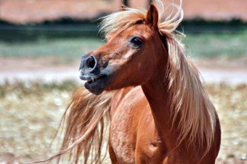 shetland-horse-pixabay