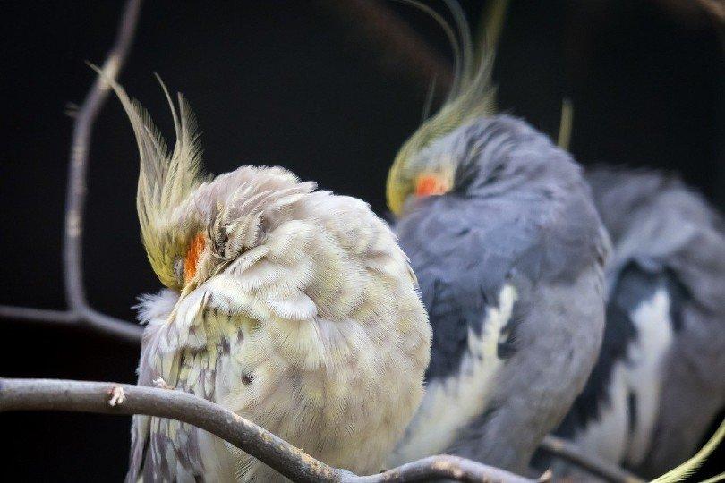 sleeping cockatiel birds_Thomas B., Pixabay