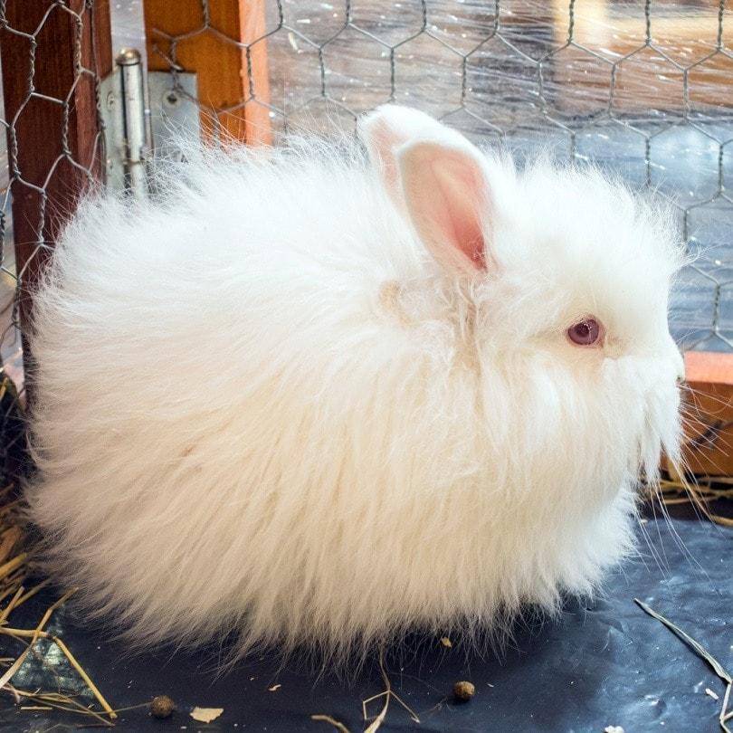 small-Angora-rabbit_Zanna-Pesnina_shutterstock