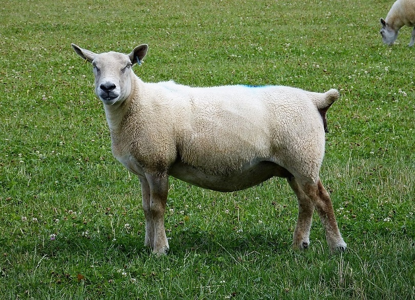 southdown_Sheep_breed-Commons wikimedia