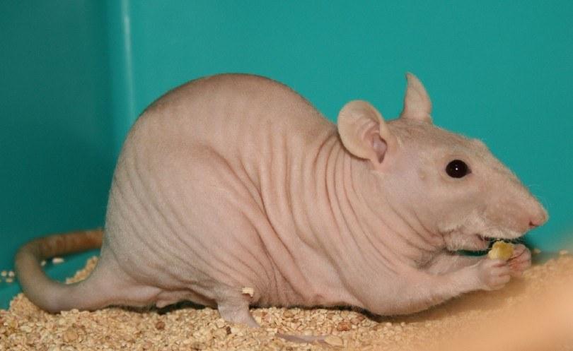 sphynx rat