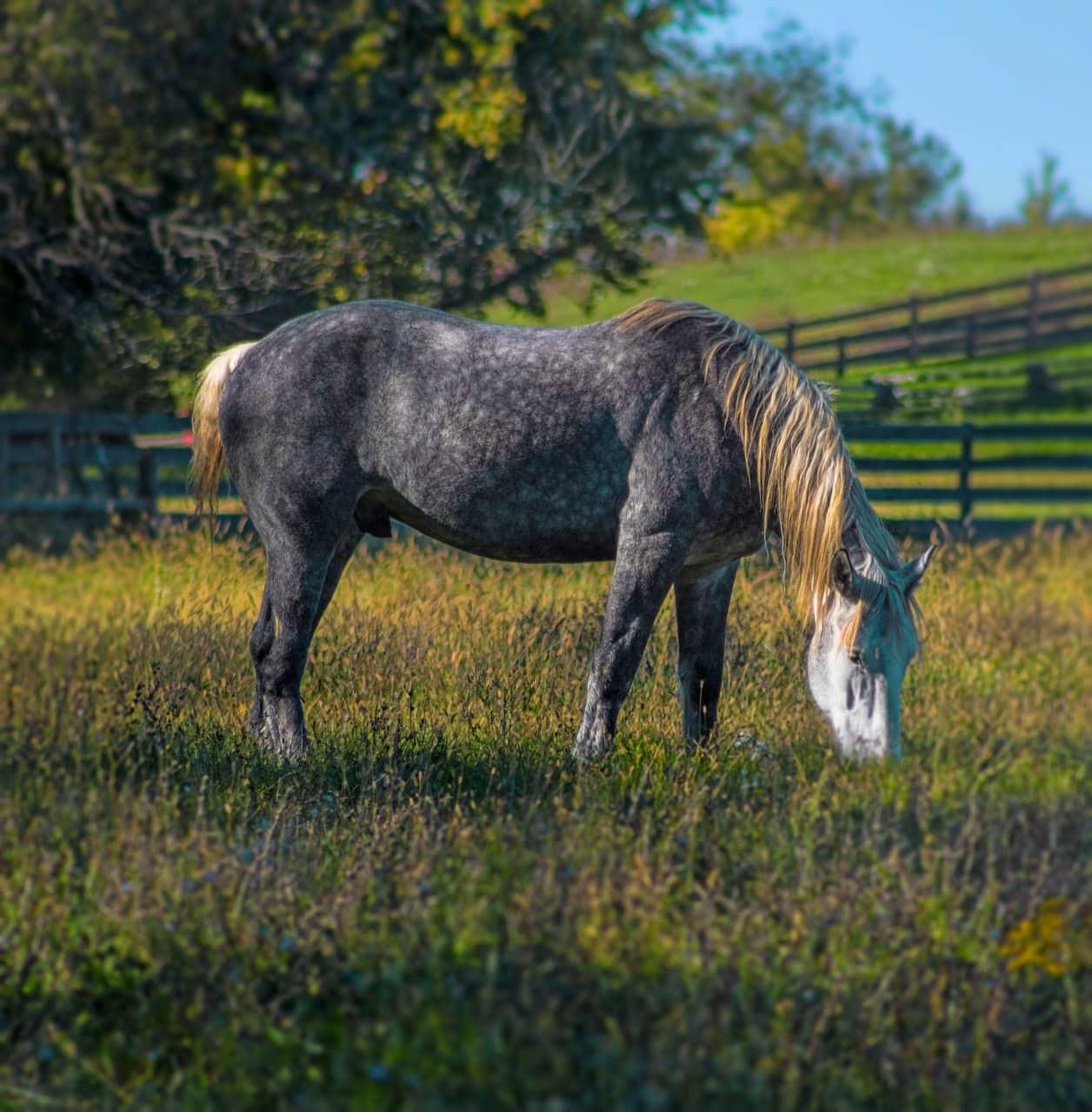 spotted Percheron Horse