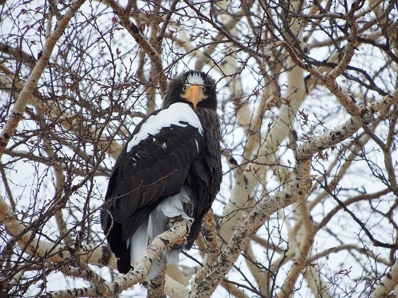 stellers-sea-eagle-pixabay