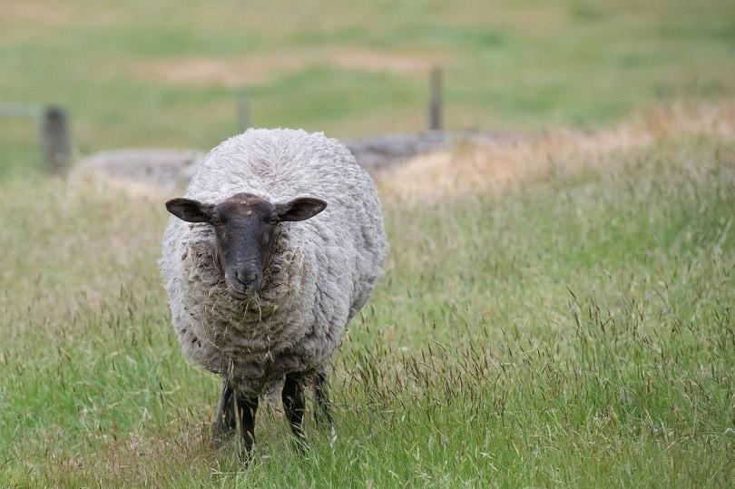 suffolk sheep-pixabay