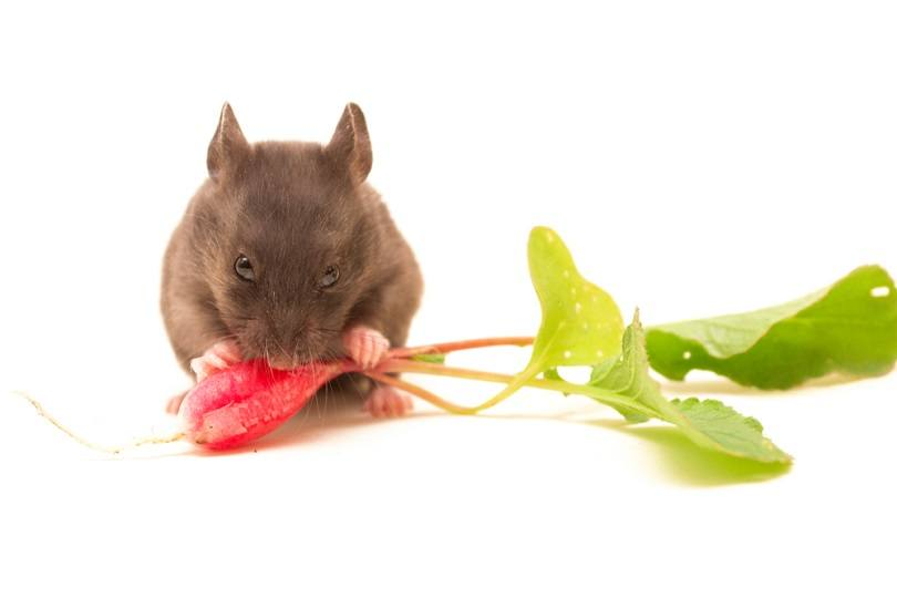 syrian-hamster-eating-radish_murbansky_shutterstock
