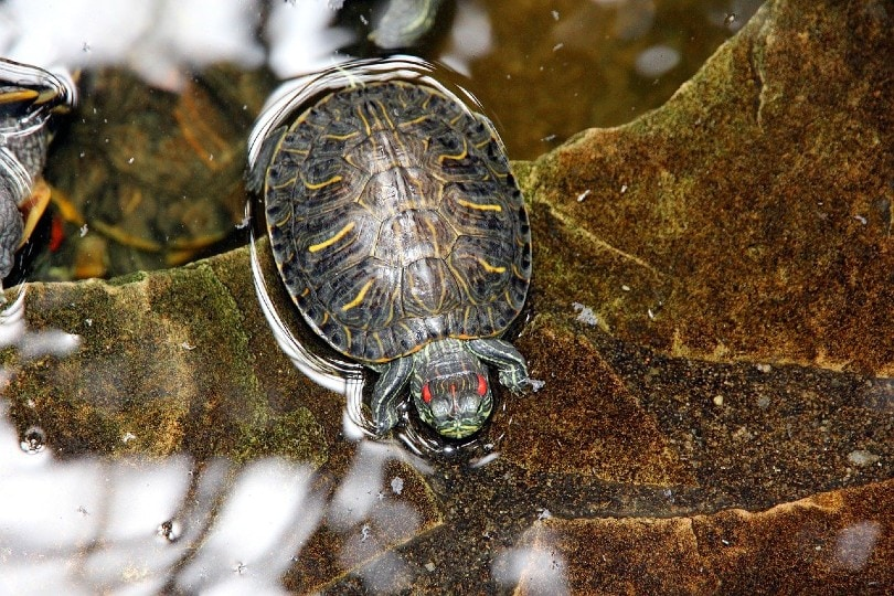 the shell of a red eared slider turtle