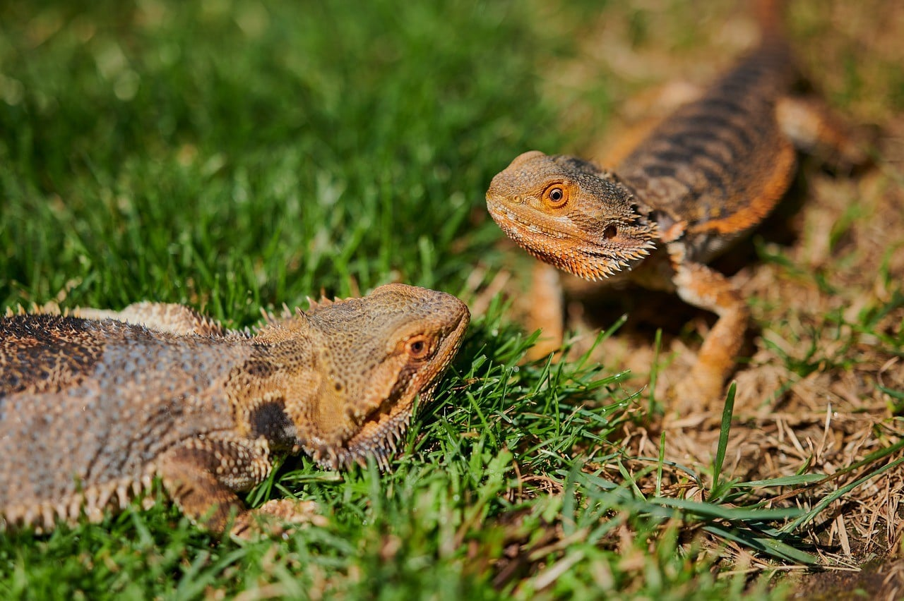 two bearded dragons in the grass