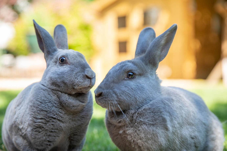 two blue rex rabbits