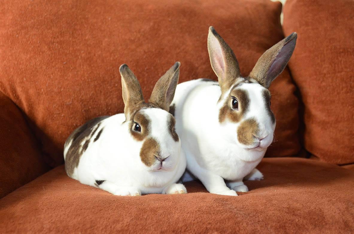 two broken rex rabbits