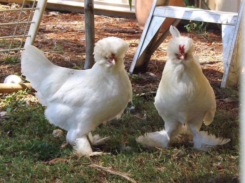 two sultan chickens