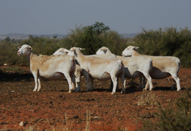 white dorper herd