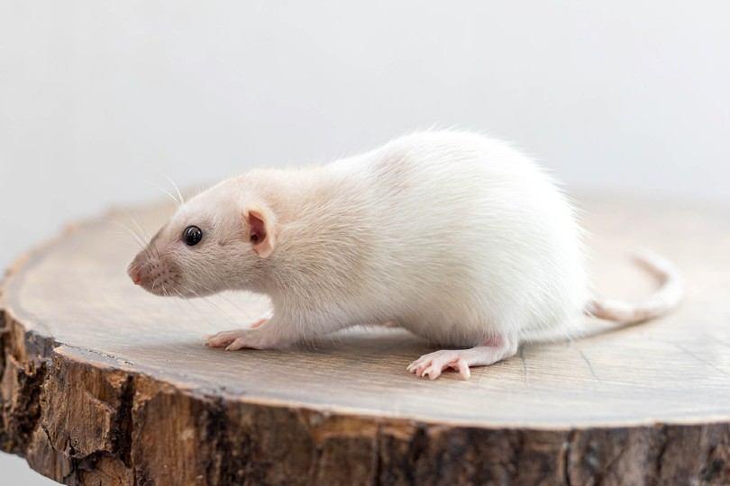 white dumbo rat
