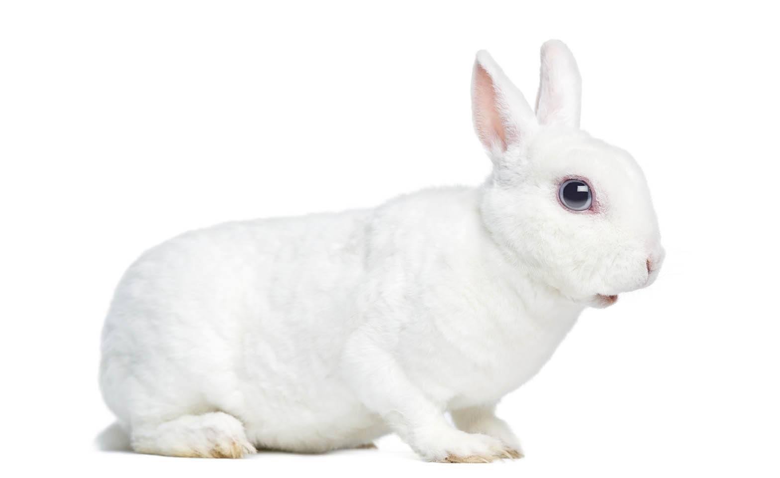 white rex rabbit