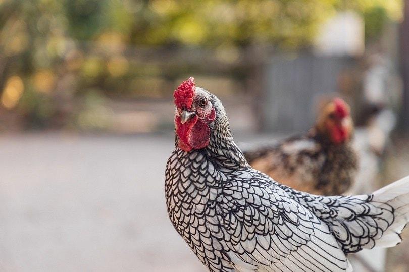 wyandotte chicken-pixabay