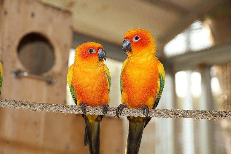yellow green parakeet