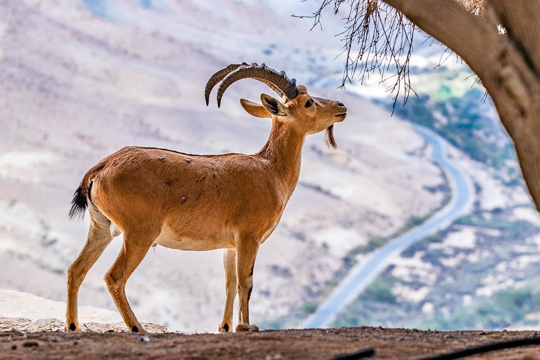 Yemen Mountain Goat