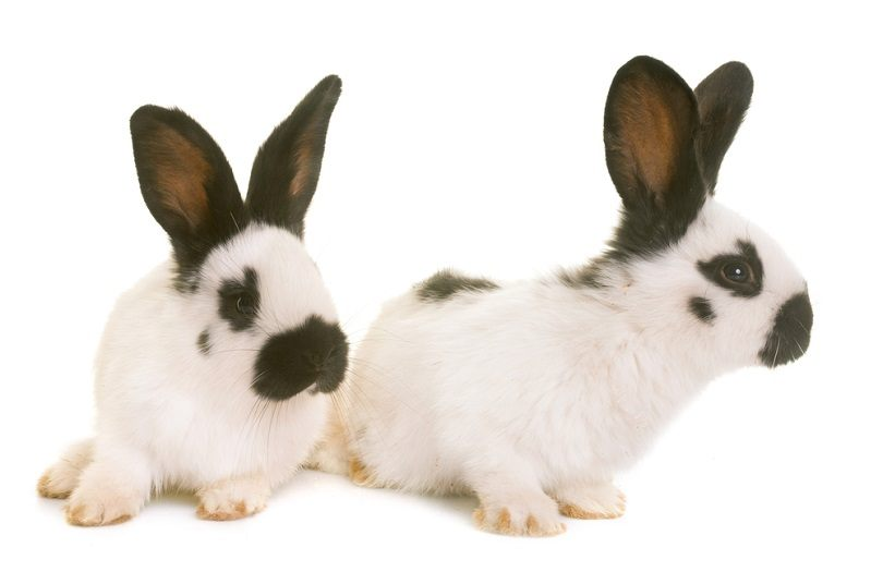 young-Checkered-Giant-rabbits_cynoclub_shutterstock