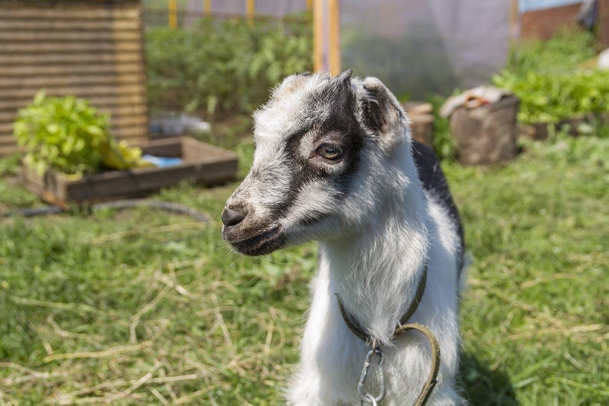 young La Mancha goat