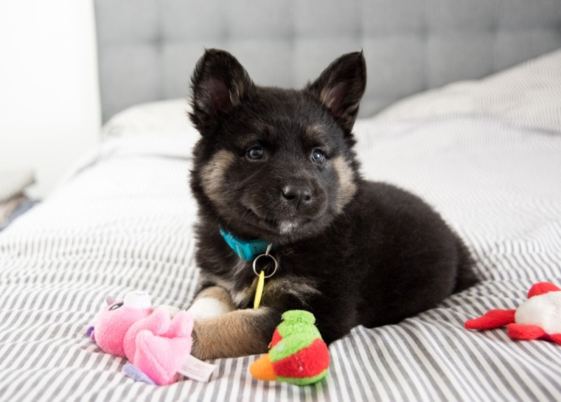 Akita Shepherd mixed breed dog
