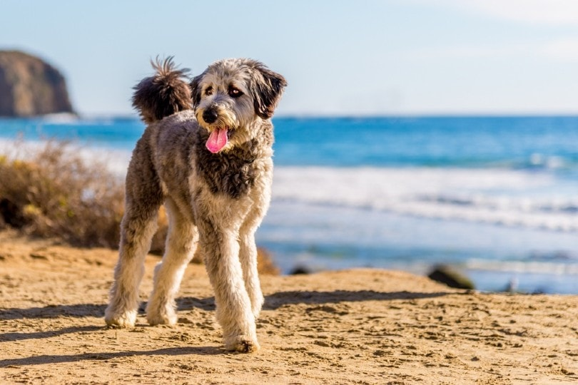 Aussiedoodle at the beach