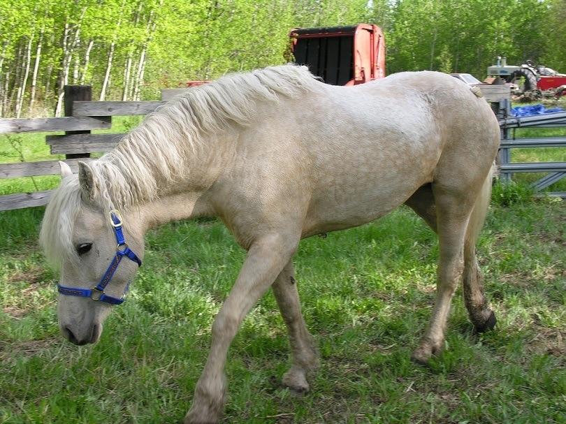 Bashkir_Curly_horse_commons wikimedia