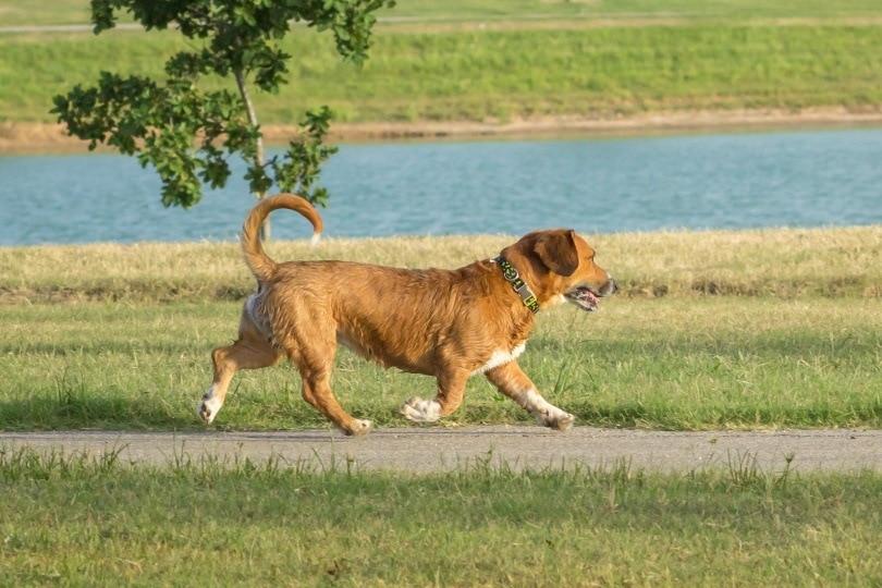 Beagi dog_Carolyn Vines_Shutterstock