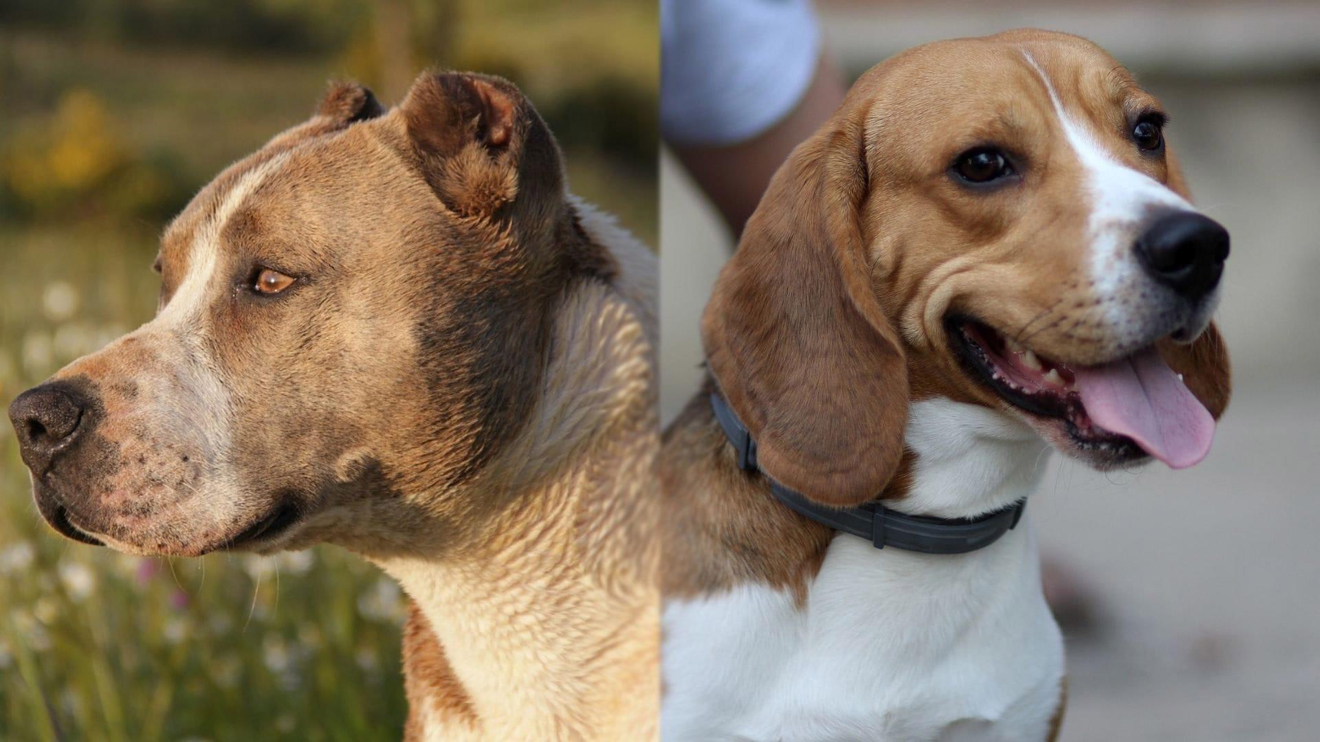 Beaglebull - Beagle and Pitbull Mix