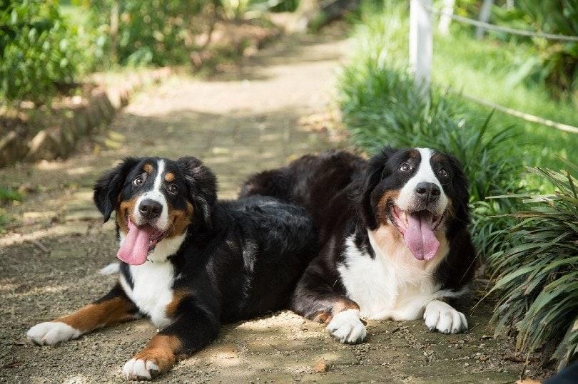 Bernese Golden Mountain Dog