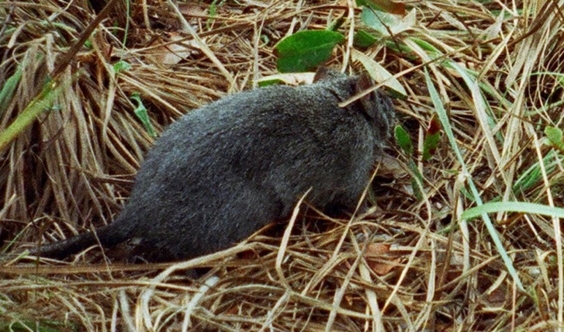 Bosavi Woolly Rats