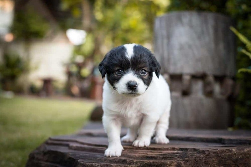 Bossi Poo puppy