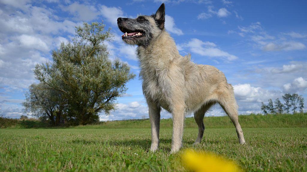 Bouvier_des_Ardennes_-_Ardennentreibhund blue sky profile grey